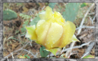 Yellow Cactus Blossom (1920x1200) Framed